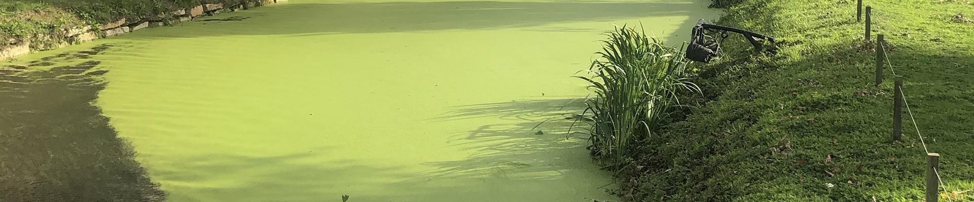 lentilles d'eau